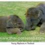 โปสการ์ด ช้างไทย ลูกช้างน้อย (CH193)