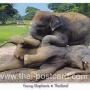 โปสการ์ด ช้างไทย ลูกช้างน้อย (CH195)