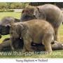 โปสการ์ด ช้างไทย ช้างน้อย (CH199)